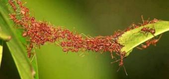 Ilmuwan Ungkap Perilaku Semut Afrika