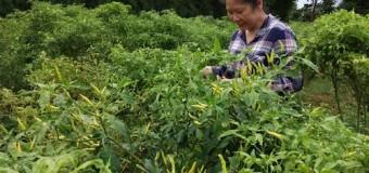 Febrita Deru Jual Hasil Kebun Hingga ke Pasar Induk Jakabaring